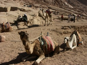 Верблюды, гора Моисея