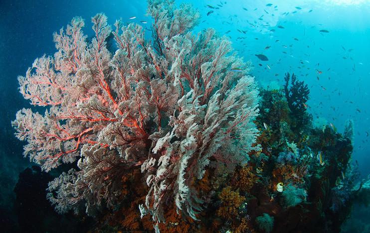 Кораллы горгонарии